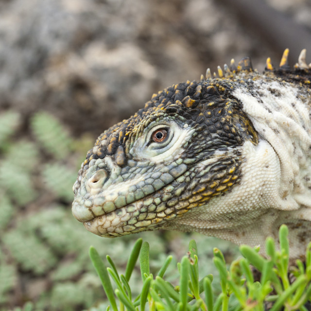 """2311 - Galápagos: Profile of a Land Iguana (2)"" stock image"