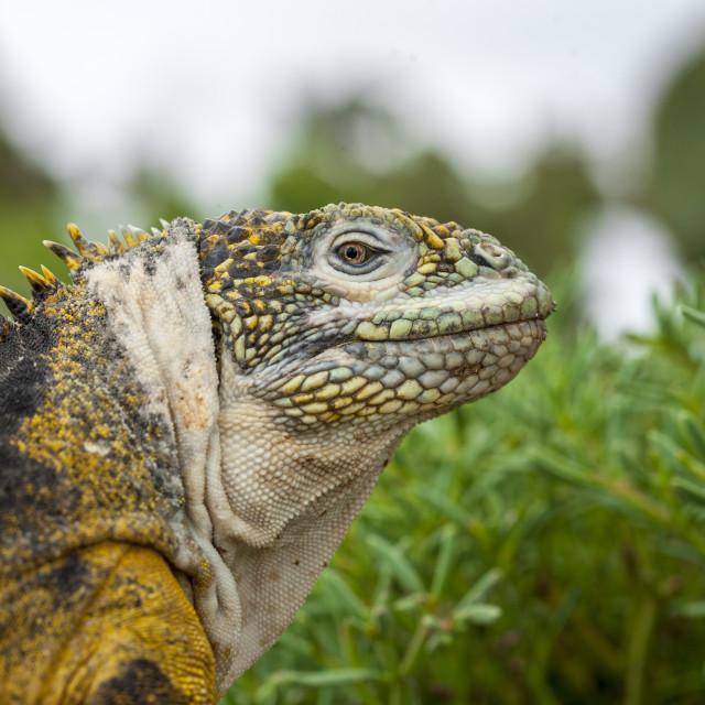 """2319 - Galápagos: profile of a Land Iguana (3)"" stock image"