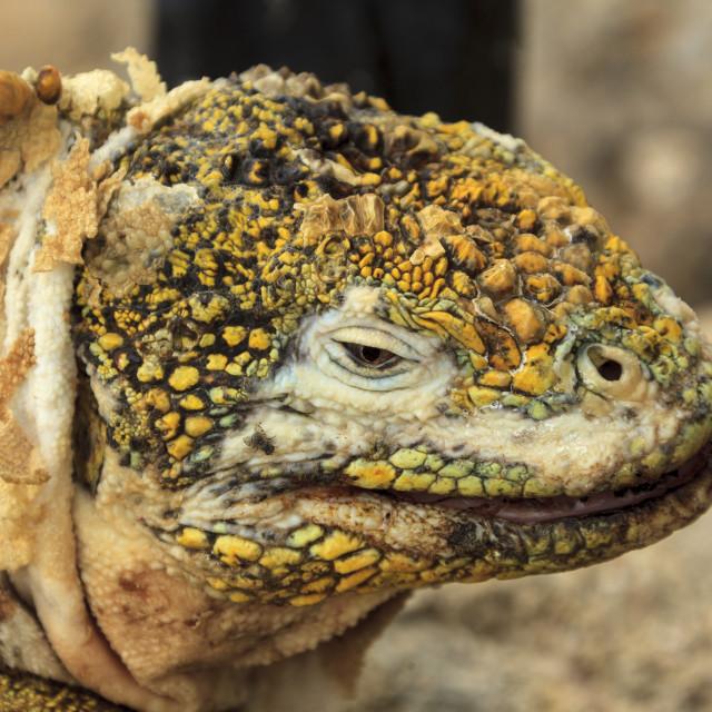 """2240 - Galápagos: profile of a Land Iguana (4)"" stock image"