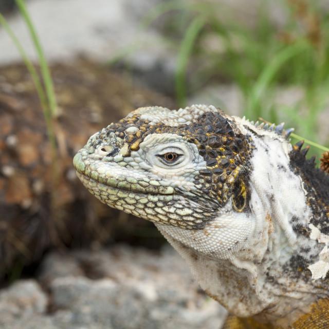 """2307 - Galápagos: profile of a Land Iguana (5)"" stock image"