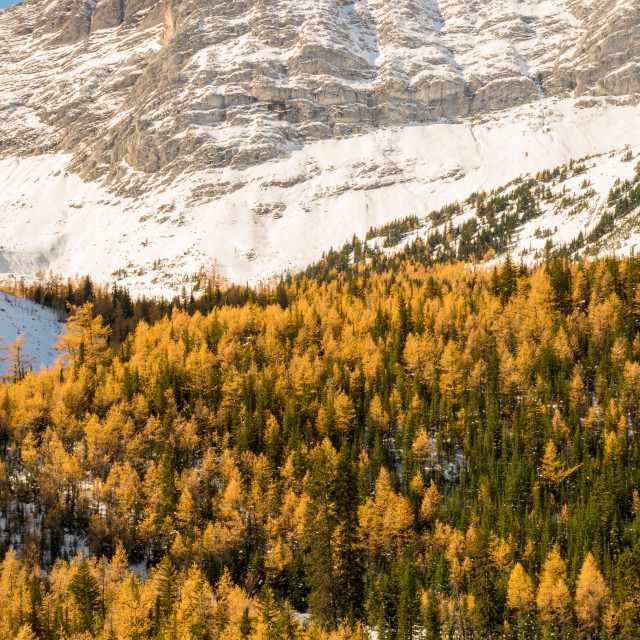 """Larch trees"" stock image"