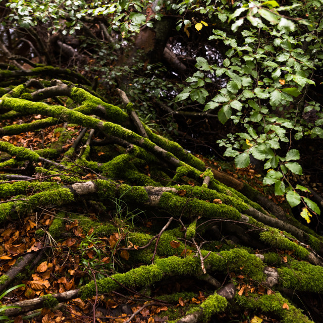 """""""Tree Roots on a Riverbank"""" stock image"""