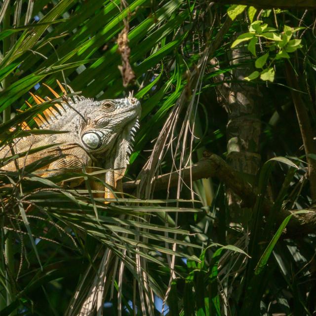 """""""Green Iguana (Iguana iguana) in Mexico"""" stock image"""