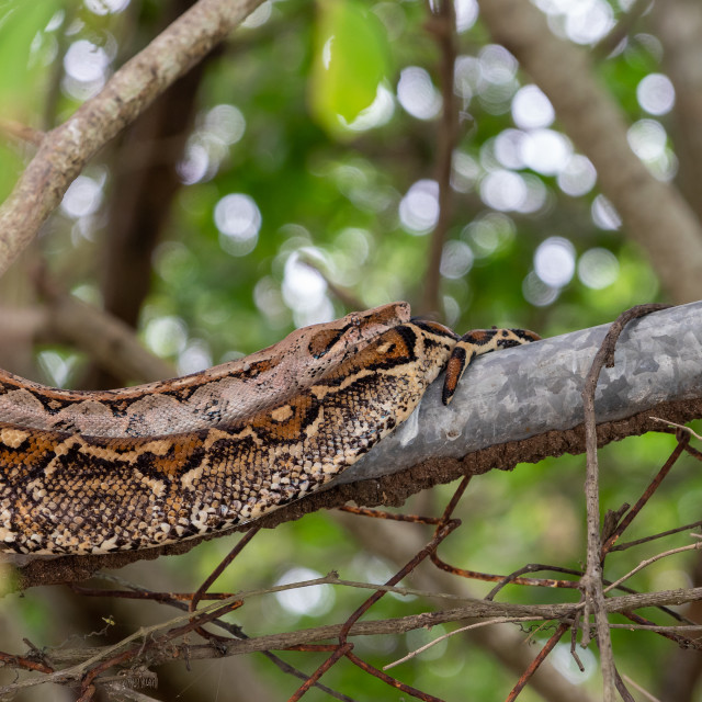 """Boa (Boa constrictor) on a fence"" stock image"