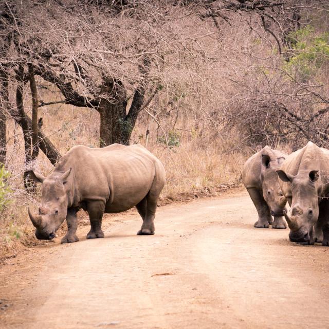 """""""White Rhinoceros (Ceratotherium simum)"""" stock image"""