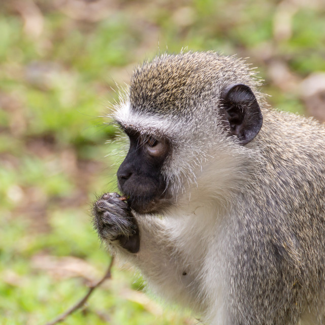 """Vervet Monkey (Chlorocebus aethiops), taken in South Africa"" stock image"