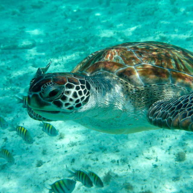 """Green sea turtle (Chelonia mydas)"" stock image"