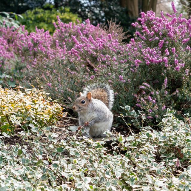 """""""Gray Squirrel (Sciurus carolinensis) in the UK"""" stock image"""