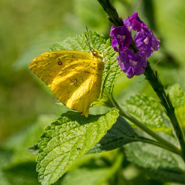 """Cloudless Sulphur Butterfly (Phoebis sennae), Costa Rica"" stock image"