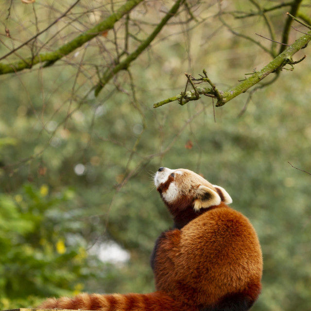 """A Red Panda"" stock image"