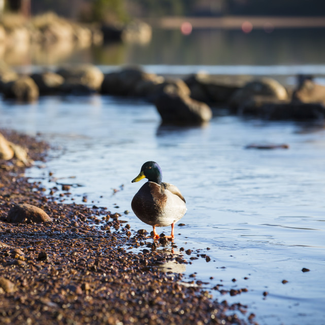 """Ducks in water"" stock image"