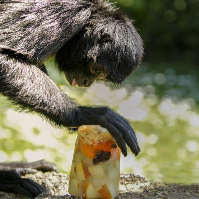 """A black spider monkey"" stock image"