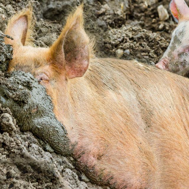 """Sleeping farm animal"" stock image"