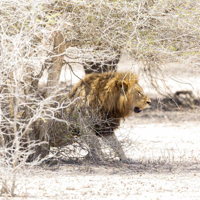 """0458 - South Africa (Kruger national park): lion in hot sand"" stock image"