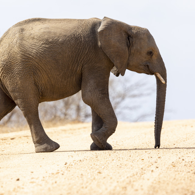 """""""0404 - South Africa (Kruger national park): elephant crossing a dusty road"""" stock image"""