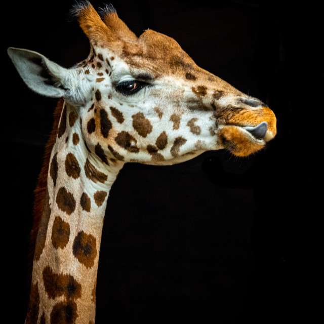 """""""Giraffe with tongue out, against black back ground"""" stock image"""