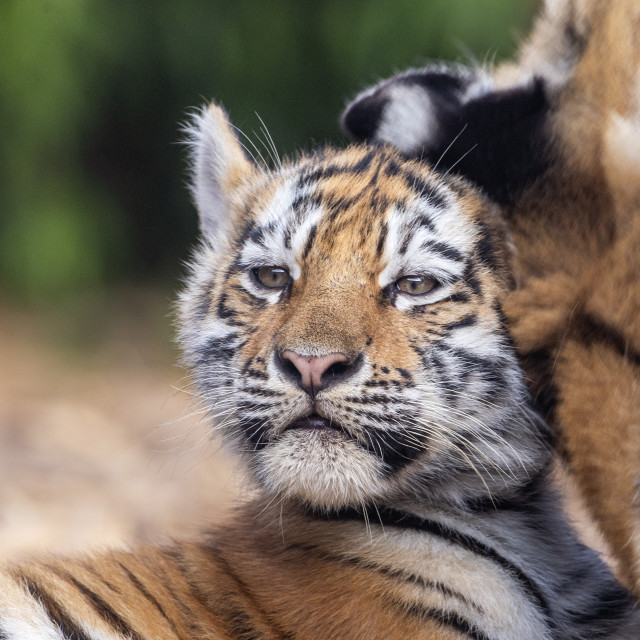 """Female Amur tiger cub with mum"" stock image"