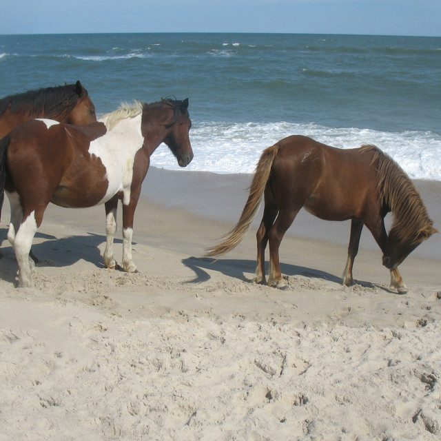 """""""ponies on the beach"""" stock image"""