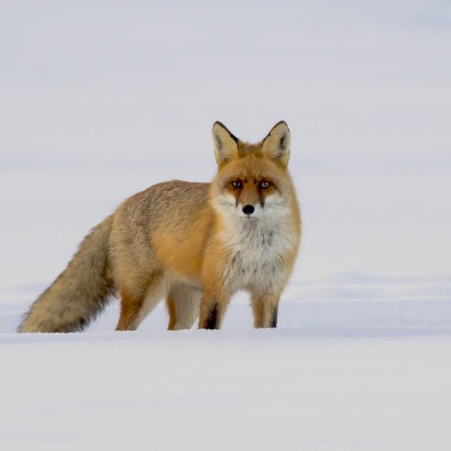 """Winter Fox"" stock image"