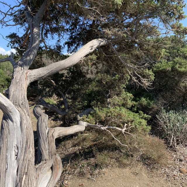 """The twisted tree on the beach"" stock image"