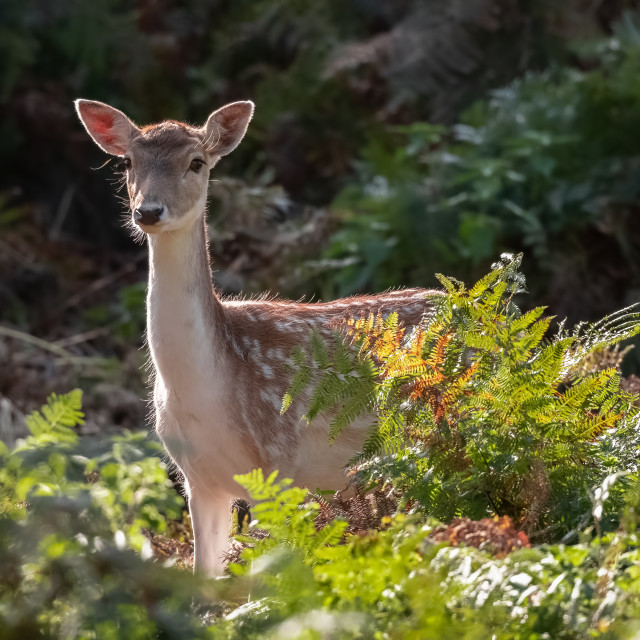 """FALLOW DEER DOE"" stock image"