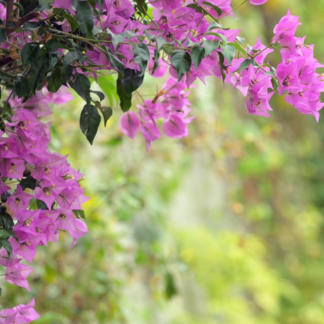 """""""Purple bougainvillea flowers in garden"""" stock image"""
