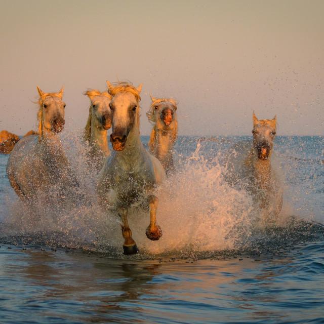 """white camargue horses running through the sea"" stock image"