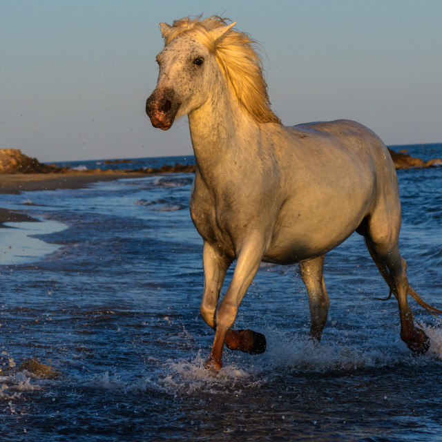 """white camargue horse running through the sea"" stock image"