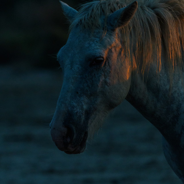 """""""Close up of the head of a camargue horse"""" stock image"""
