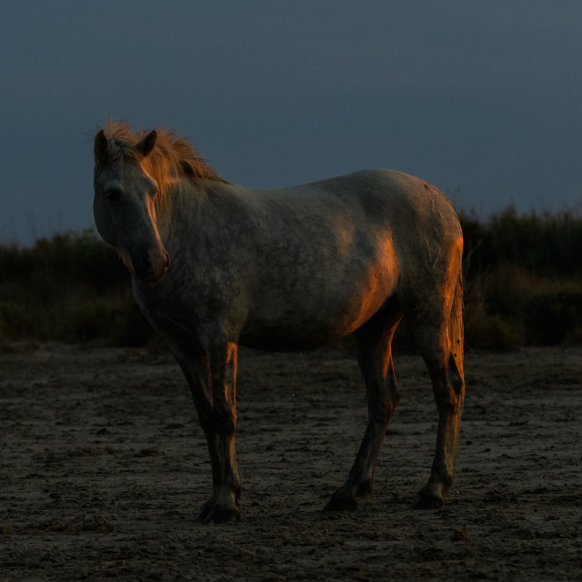 """""""A white camargue horse at sunset"""" stock image"""