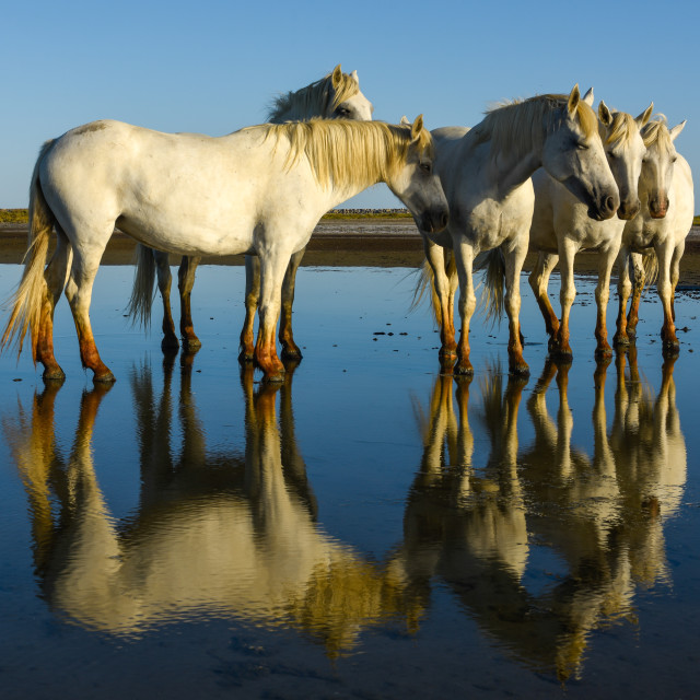 """""""white camargue horses and their reflection in the water"""" stock image"""