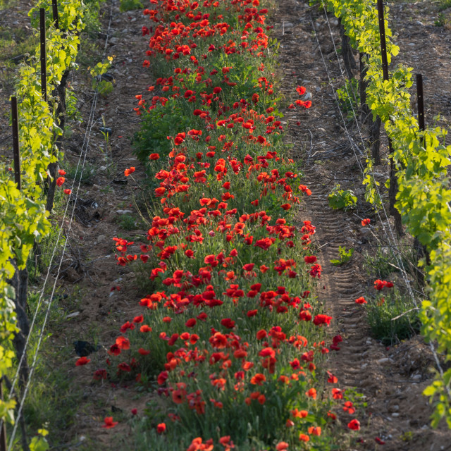 """""""Poppies in a vineyard"""" stock image"""