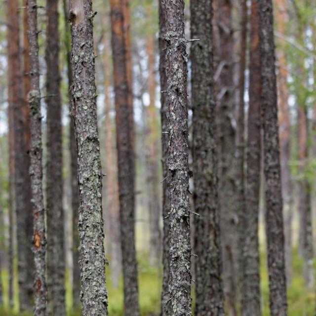 """""""Pine tree trunks"""" stock image"""