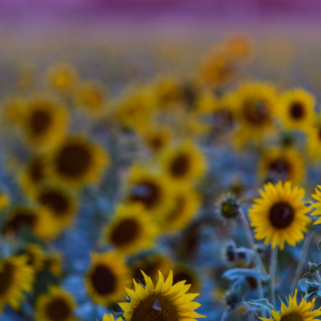 """""""A sunflower field at sunset"""" stock image"""