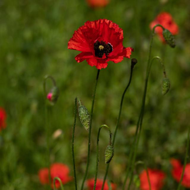 """Poppies in Aldersot"" stock image"