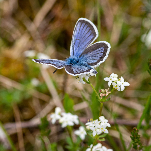 """""""Silver studded blue butterfly on Witley common"""" stock image"""