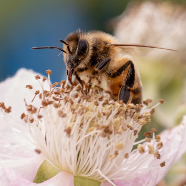 """""""Blackberry honey"""" stock image"""