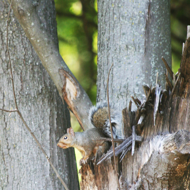 """""""squirrel in the tree"""" stock image"""