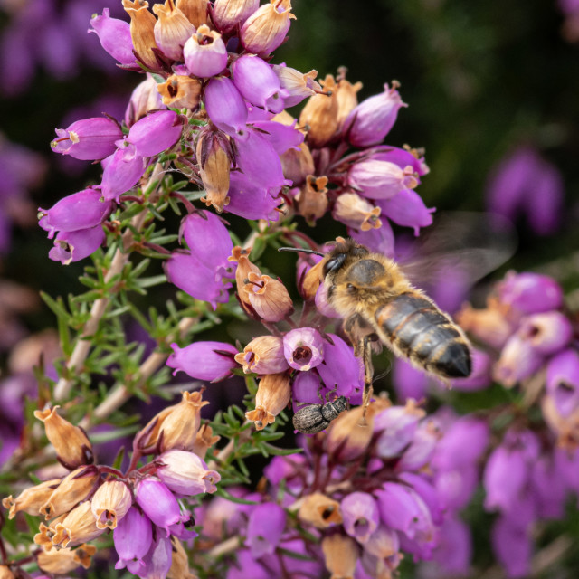 """""""A bee and other insects"""" stock image"""