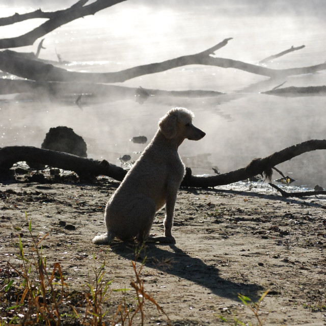 """Poodle in the Mist"" stock image"