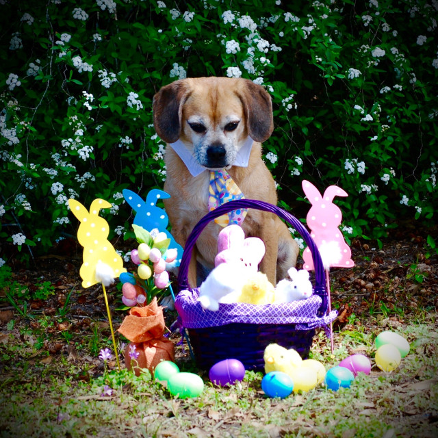 """Easter Puggle"" stock image"