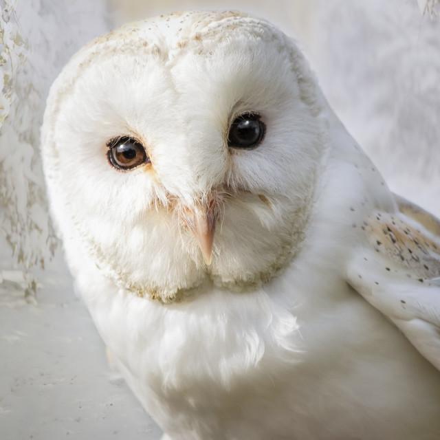 """""""Little Barn Owl"""" stock image"""