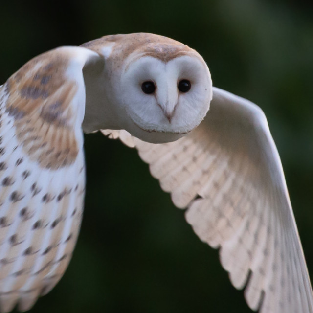 """Owl at dawn"" stock image"