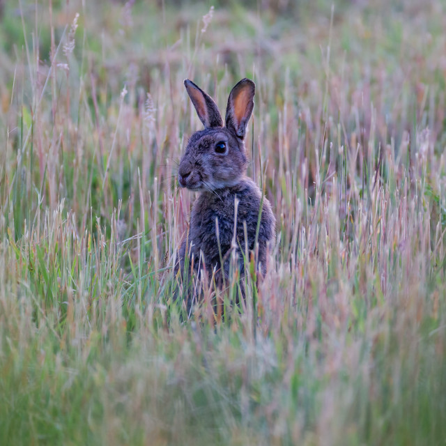"""A rabbit on alert"" stock image"