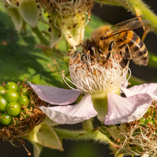 """Honey bee blackberry tea"" stock image"