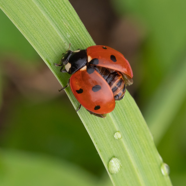 """""""Ladybird drying out on grass"""" stock image"""