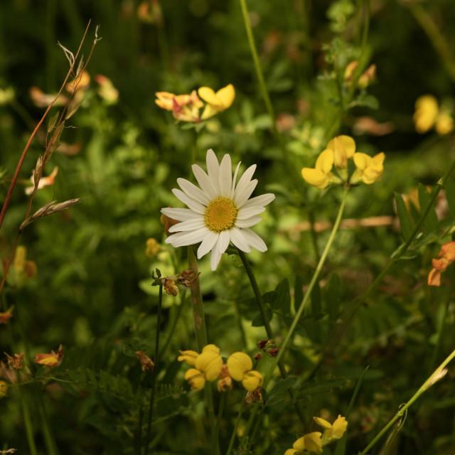 """""""Hazy daisy and friends"""" stock image"""