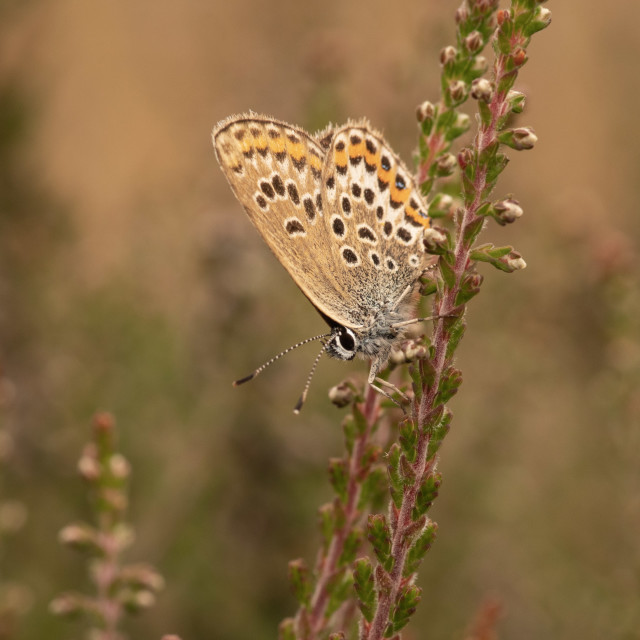 """""""Silver studded blue butterfly"""" stock image"""