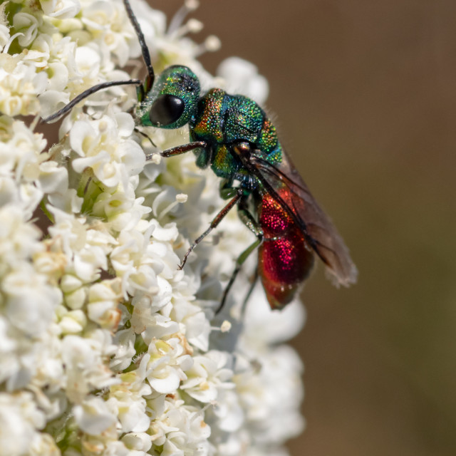 """Greedo the Cuckoo wasp"" stock image"