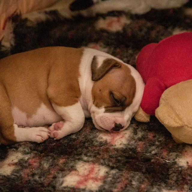 """Sleepy puppy"" stock image"